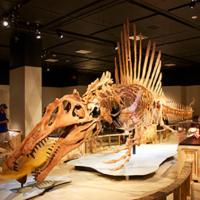 Reconstructed Spinosaurusskeleton